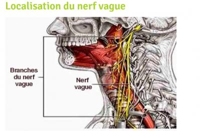 Localisation du nerf vague